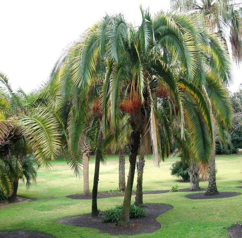 Palmeira Phoenix Rupicola Jardim Ex 243 Tico O Maior