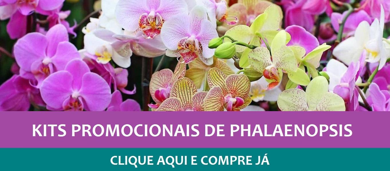 Promoção Phalaenopsis