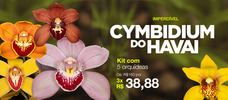 Cymbidium do Havai