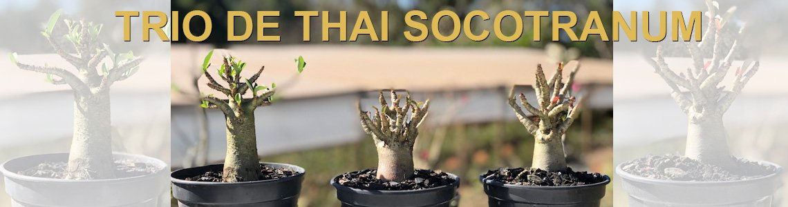 Trio Thai Socotranum