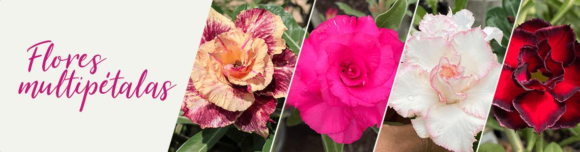 Flores Multipétalas
