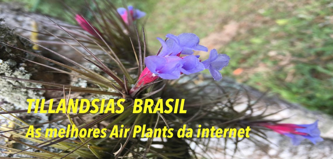 Tillandsias Brasil