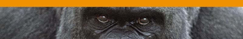 Gorila Laranja
