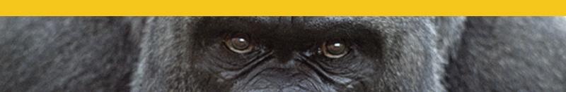Gorila Amarelo