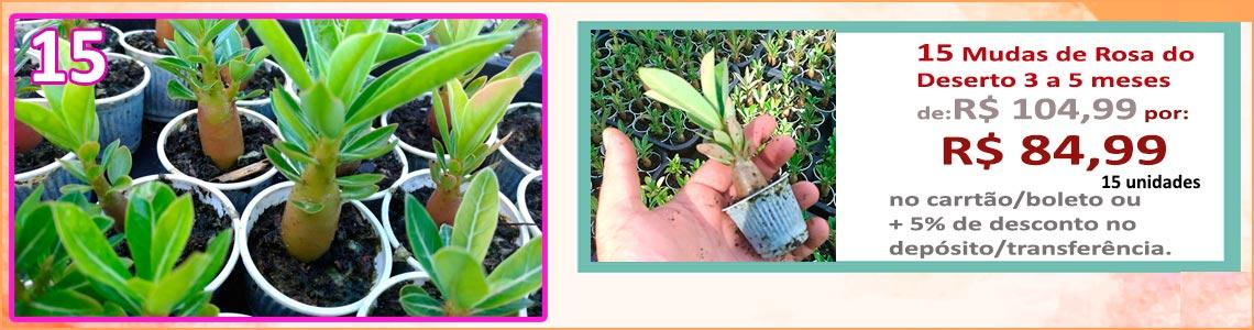 15 mudas rosa do deserto 3 a 5 meses