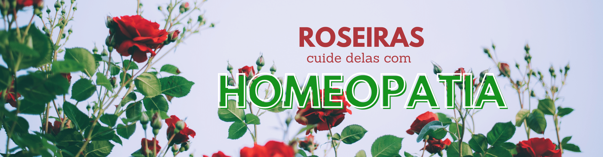 Roseira Vitrine