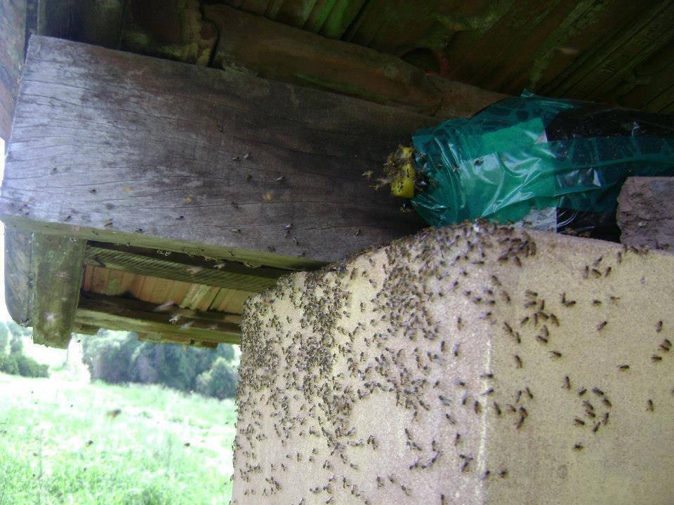 Atrativo para abelha sem ferrão