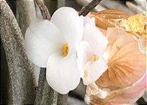 Tillandsia paraibensis (Air Plant)