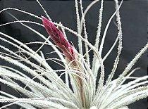 Tillandsia tectorum (Air Plant)