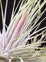 Tillandsia magnusiana (Air Plant)