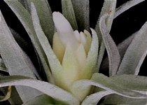 Tillandsia plagiotropica (Air Plant)