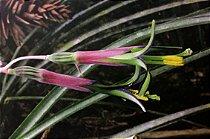Billbergia nutans