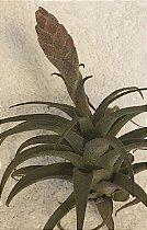 Tillandsia latifolia Var Costera (Air Plant)