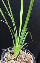 Phragmipedium pearcei