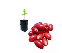 Muda de Fruta do Milagre - Miracle Fruit- 1