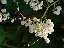 Mudas De Amor-Agarradinho Branco (Antigonon Leptopus)