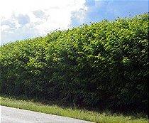 Kit 25 mudas Sansão do campo (Mimosa caesalpiniifolia cerca viva