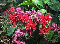 Muda da Flor Lágrima de Cristo Vermelha - Clerodendron Thomsoniae