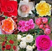 kit Mini rosas trepadeiras 4 cores sortidas-enxerto já Florece