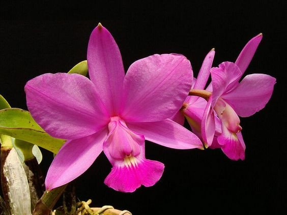 Orquídea Cattleya Workeriana