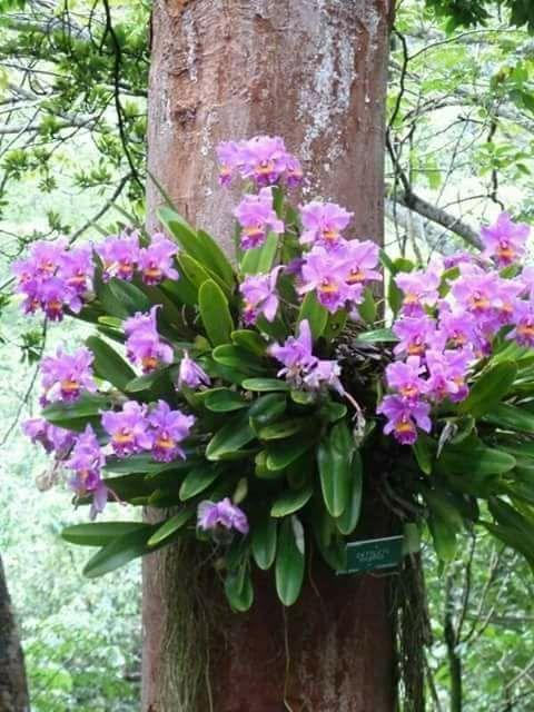 Orquídea Epífita