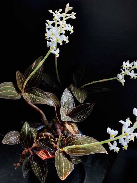 Orquídea Ludísia