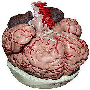 Cérebro Com Artérias 09 Partes