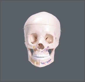 Crânio clássico com mandíbula abeta