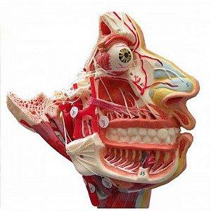 Crânio Facial com demonstrativo de nervos e vasos.