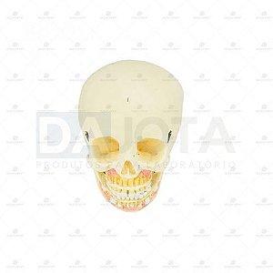Crânio Humano Infantil c/ Mandíbula, Vasos e Nervos em 2 partes