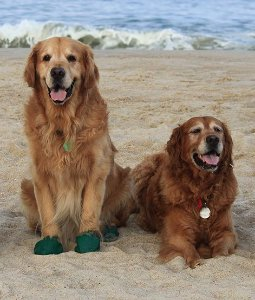 Pawz Boots Botas para Cachorros | X-Large | X-Grande