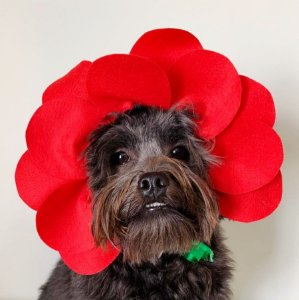Fantasia para Cachorros e Gatos | Moldura Flor Rosa Vermelha | Carnaval