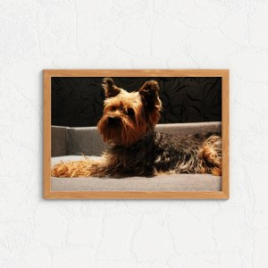 Quadro Decorativo Animais- Yorkshire terrier.