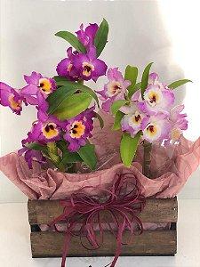 Dupla de Orquídea Dendrobium