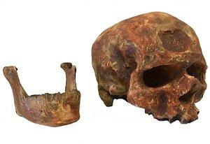Crânio de Cro-magnon (Homo sapiens)