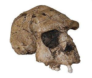 Crânio de Homo erectus