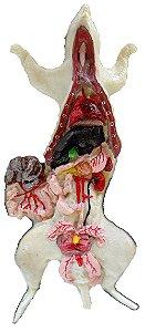 Anatomia básica de mamíferos roedor