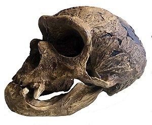 Crânio de Homo neanderthalensis