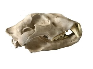 Crânio de Leão