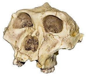 Crânio de Paranthropus robustus