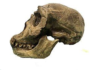Crânio de Homo ergaster