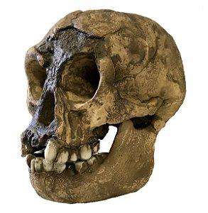 Crânio de Homo floresiensis