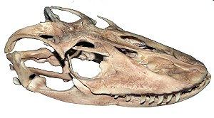 Crânio de Dragão de Komodo (Varanus komodoensis)