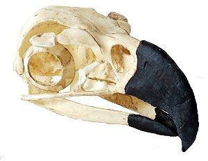Crânio de Harpia (Harpia harpyja)