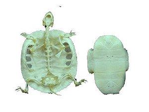 Esqueleto de Quelônio