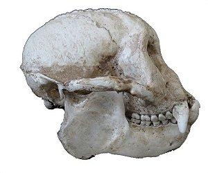Crânio de Primata 2 - macaco prego