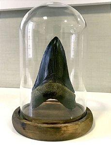 Dente de Carcharodon megalodon em redoma de vidro (modelo 2)