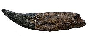 Dente de Tyrannosaurus rex com raiz