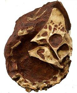 Crânio de Oviraptor em matriz rochosa.