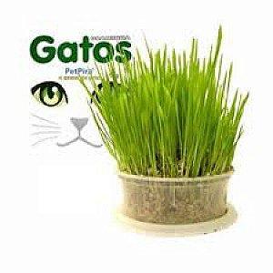 Sementes de graminha para gatos